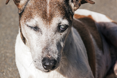 Old purebred blind jack russell dog with cataracts in eyes